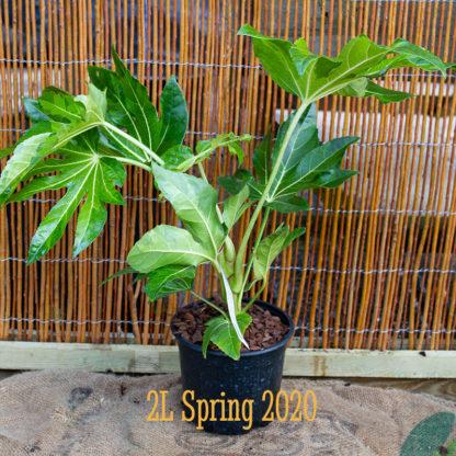 Fatsia japonica 'Murakumo Nishiki' 2 litre plants