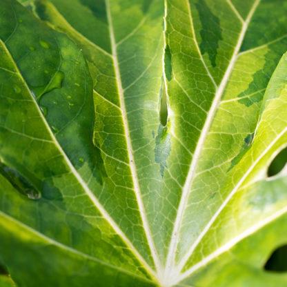 Fatsia japonica 'Murakumo Nishiki' leaf