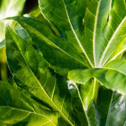 Fatsia japonica 'Murakumo Nishiki' leaves