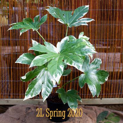 Fatsia japonica 'Variegata' 2 litre plant