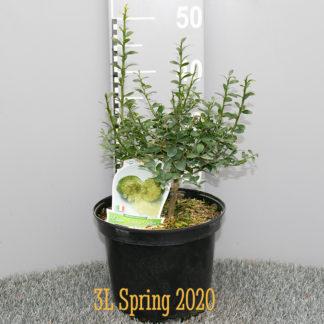Microcitrus australasica 'Sunshine Yellow' 3 litre plant