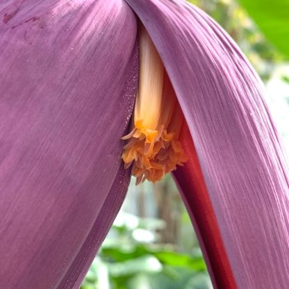 Musa sikkimensis 'Red Tiger' close up of flower at Big Plant Nursery