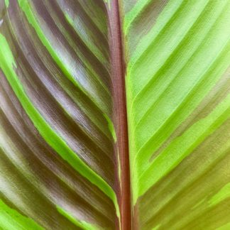 Musa sikkimensis leaf close-up at Big Plant Nursery