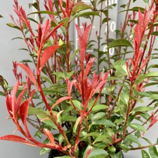 Photinia 'Carre Rouge' new growth