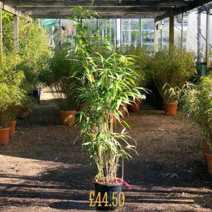 Pseudosasa japonica £44.50 size plant