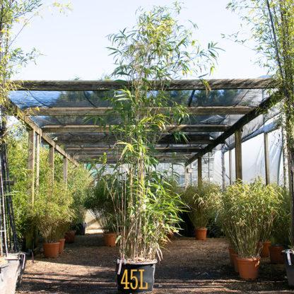 Pseudosasa japonic. 45 litre plants at Big Plant Nursery