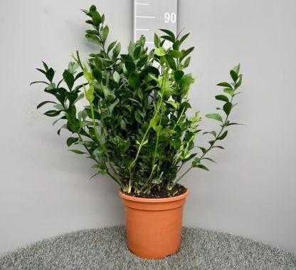 Ruscus hypoglossum 7 litre plant