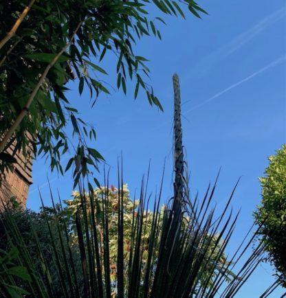 Dasylirion serratifolium flower spike