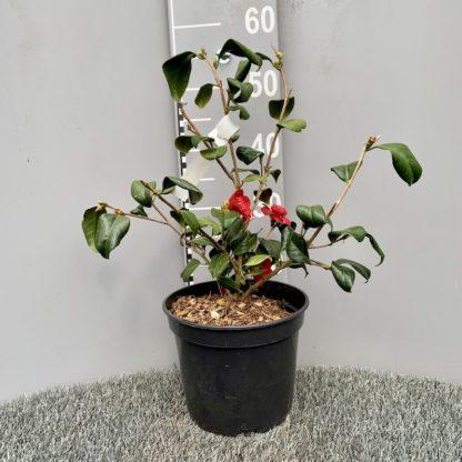 Camellia 'Bob's Tinsie' 4 litre plant