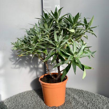 Echium candicans 7 litre plant