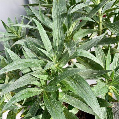 Echium candicans leaf close-up
