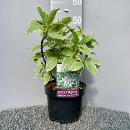drangea 'Light O Day' 3.6 litre plant