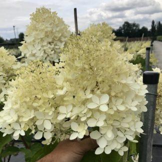 Hydrangea 'Limelight flowers