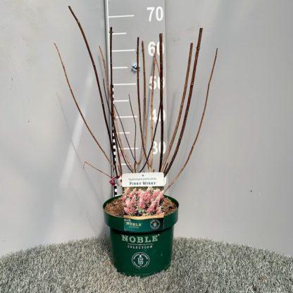 Hydrangea 'Pinky Winky' 3.6 litre plant