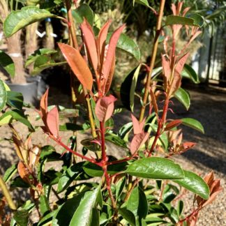 Photinia 'Red Robin' close-up of new growth