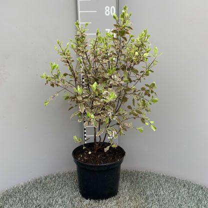 Pittosporum 'Elizabeth' 5 litre plant