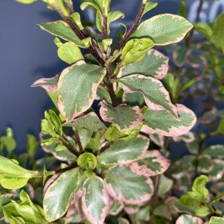 Pittosporum 'Elizabeth' leaf close-up