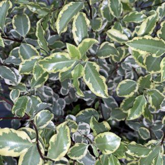 Pittosporum 'Variegatum' foliage close-up at Big Plant Nursery