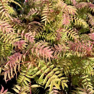 Sorbaria 'Sem' spring foliage