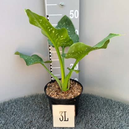 Zantedeschia 'Himalaya' 3 litre plant at Big Plant Nursery