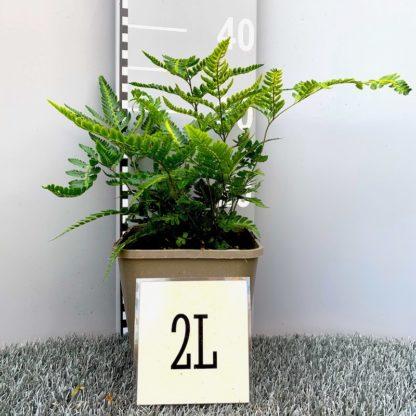 Arachnoides aristata 'Variegata' 2 litre plant at Big plant Nursery