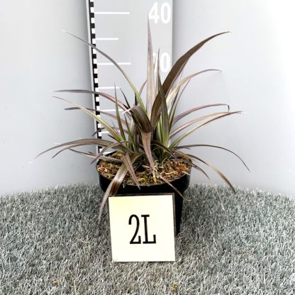 Astelia 'Son of Red Devil' 2 litre plant