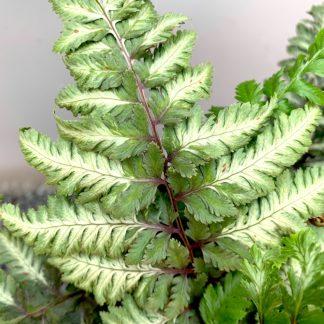 Athyrium nipponicum 'Metallicum' leaf close up