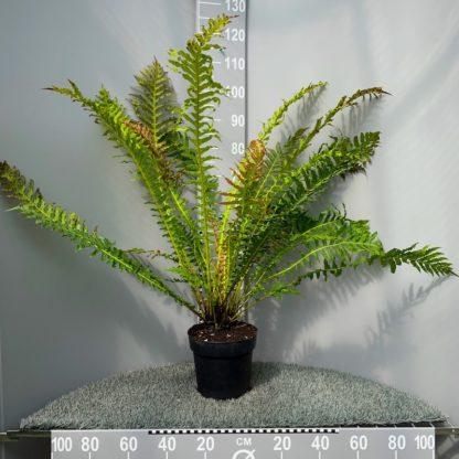 Blechnum 'Volcano' 5 litre plants at Big Plant Nursery