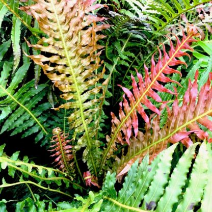 Blechnum 'Volcano' close up of new growth at Big Plant Nursery