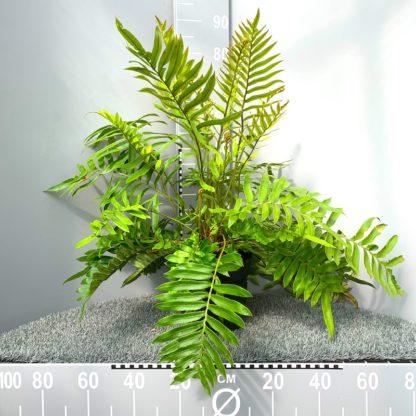 Blechnum tabulare 5 litre plant at Big Plant Nursery