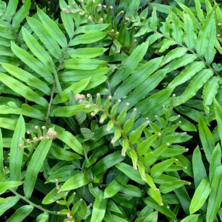 Blechnum tabulare close up of new growth at Big Plant Nursery