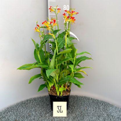 Canna edulis 3 litre plant