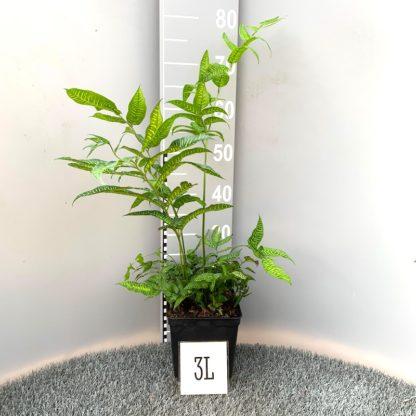 Coniogramme emeiensis 3 litre plant at Big Plant Nursery