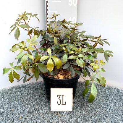 Pseudopanax lessonii 'Rangatira' 3 litre plant. at Big Plant Nursery
