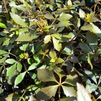 Pseudopanax lessonii 'Rangatira' close up of leaves at Big Plant Nursery