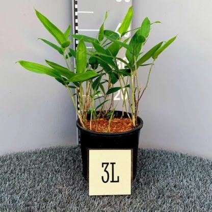 Sasa veitchii 3 litre plant at Big Plant Nursery
