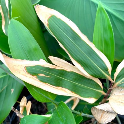 Sasa veitchii winter leaf colour at Big Plant Nursery