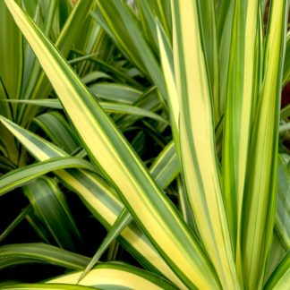 Yucca 'Jewel' close up of leaf
