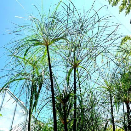 Cyperus papyrus 'Nanus' closeup at Big Plant Nursery