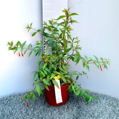 Fuchsia regia 'Reitzii' at Big Plant Nursery
