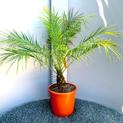 Phoenix roebelenii at Big Plant Nursery