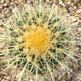 Echinocactus grusonii in a terracotta bowl