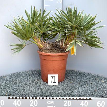 Trithrinax campestris 7 litre plant