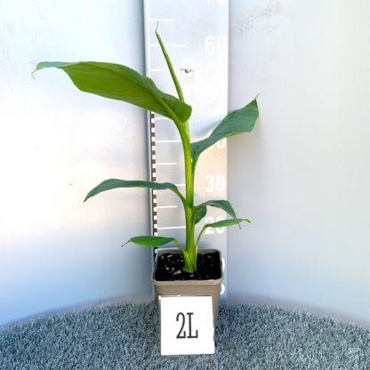 Musa velutina 2 litre plant at Big Plant Nursery