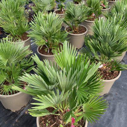 Chamaerops humilis 'Vulcano' 20 litre plant at Big Plant Nursery
