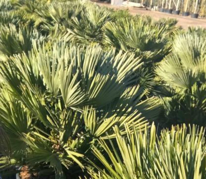 Chamaerops humilis 'Vulcano' mature plants