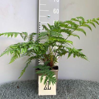 Cyathea australis 2 litre plant at Big Plant Nursery
