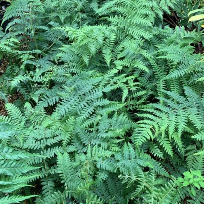 Cyathea australis showing fronds on young plants