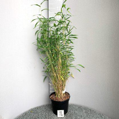 Fargesia papyrifera 'Blue Dragon' 7 litre plant for sale at Big Plant Nursery