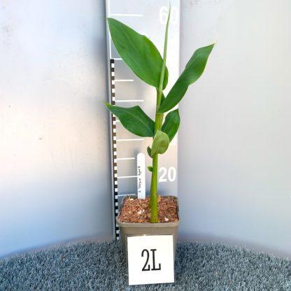 Hedychium 'Tresco Hybrid' 2 litre plant at Big Plant Nursery